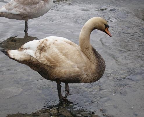 Oil Spill Swan